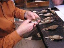#DayInTheLife si fa ricerca scientifica anche sugli uccelli conservati nei musei da più di cento anni #MuseumWeek http://ow.ly/i/50gjU