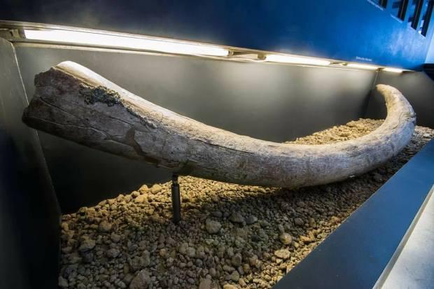 Zanna di Elefante antico